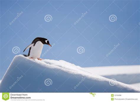 Top Pingun top penguin royalty free stock photos image 12155098