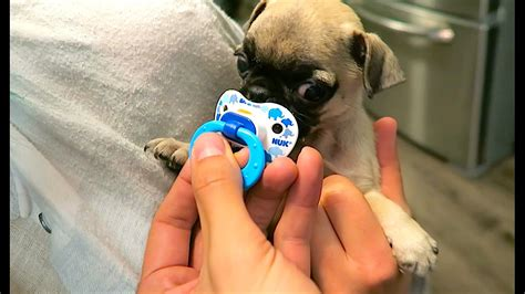 guppy the pug a baby and his pacifier