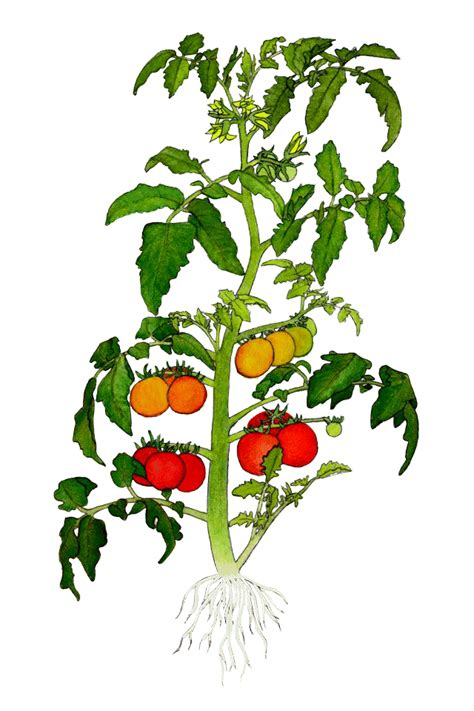 tomato flower diagram tomato plant drawing clipart best