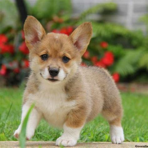 pembroke corgi puppies for sale pembroke corgi mix puppies for sale greenfield puppies