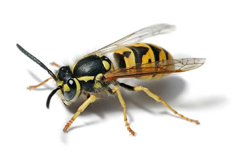 bees wasps and ants and other stinging insects classic reprint books kansas city olathe overland park wasp bee removal
