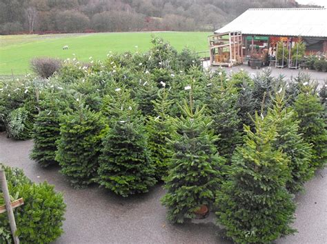christmas trees delivered
