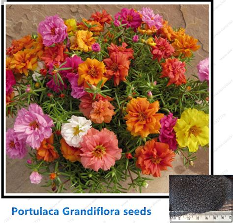 Garden Flower Seeds Portulaca Seeds Moss Portulaca Grandiflora Bonsai Flower Seeds For Home Garden Potted