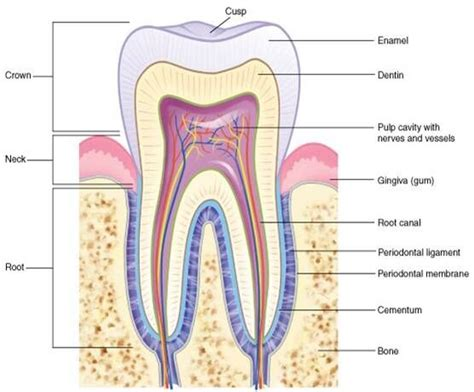 dental diagram pin by alexandria burough on anatomy physiology