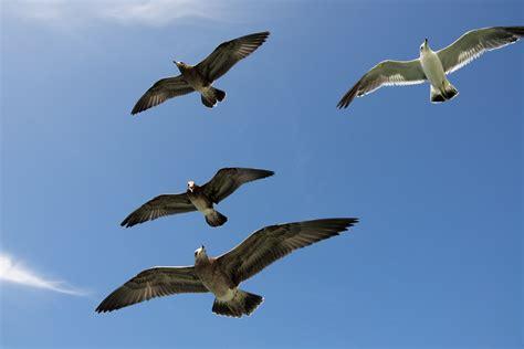 il gabbiano uccello immagini ala cielo uccello marino gregge