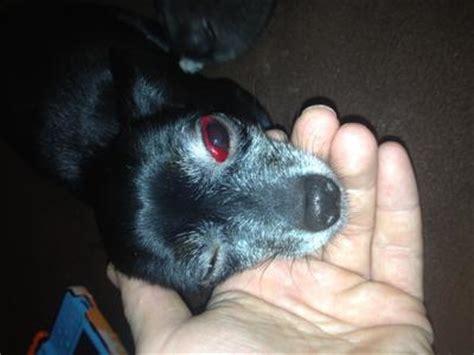 my dogs eye is swollen white of s eye is blood swollen