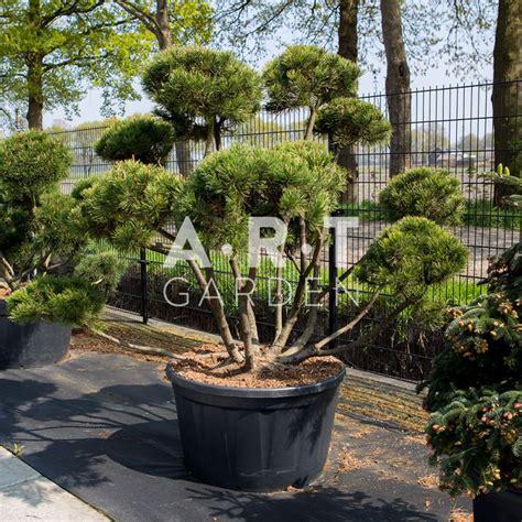 Arbuste En Pot Pour Terrasse Plein Soleil by Pinus Mugo Mughus Arbuste Original Pour Terrasse Et Jardin