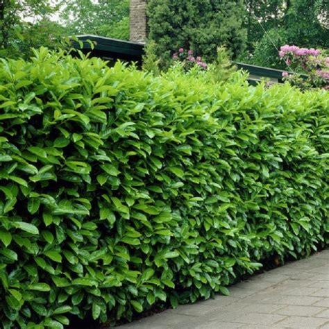 prunus laurocerasus rotundifolia hedge 5 laurel hedging prunus laurocerasus rotundifolia