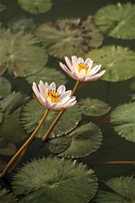 will chlorine kill water lilies home guides sf gate