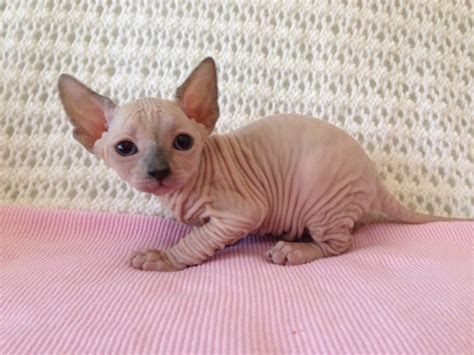 Are Sphynx cats hypoallergenic?   Joy of Sphynx