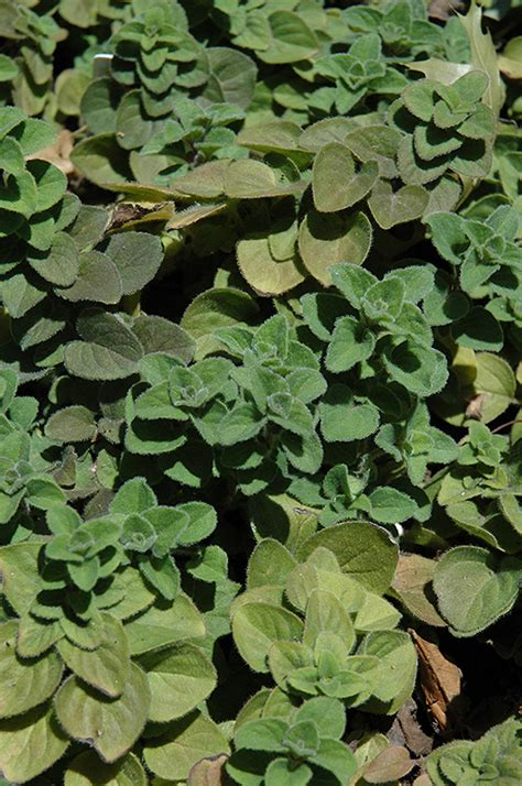 Scharfer Oregano by And Spicy Oregano Origanum And Spicy In