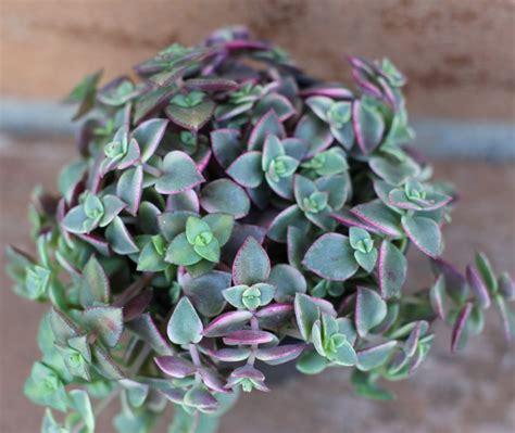 succulent plant succulent plant calico kitty crassula marginalis
