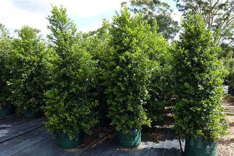 syzygium backyard bliss syzygium backyard bliss large 100l