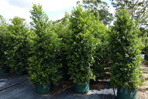 Syzygium Backyard Bliss by Syzygium Backyard Bliss Large 100l