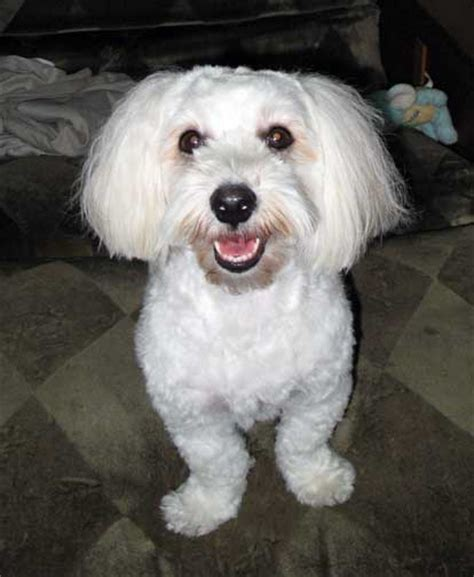 haircuts for havanese pictures of havanese haircuts breeds picture