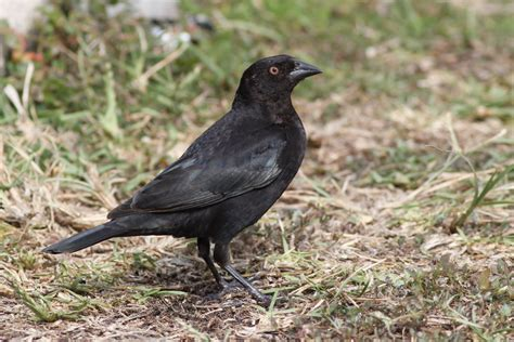the bronzed cowbirds of southern florida by alex lamoreaux
