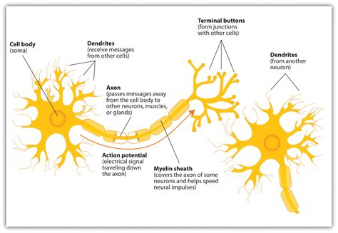 Neuron Diagram And Functions