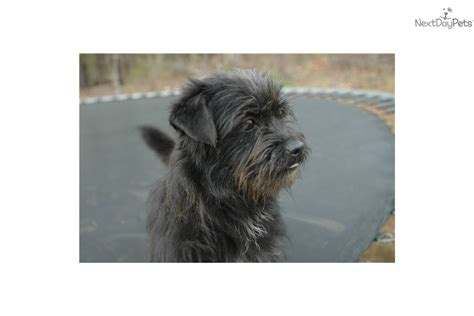 yorkie poo for sale in va yorkiepoo yorkie poo puppy for sale near danville virginia 78ea53c8 2bd1
