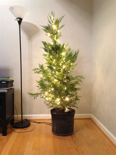 a real christmas tree this is sesame