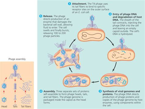 lytic cycle diagram lytic and lysogenic cycle diagram lytic and lysogenic