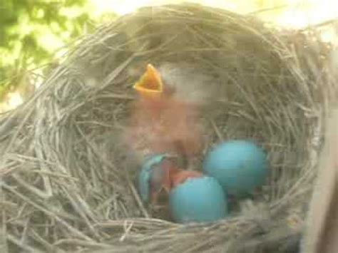 baby robin hatching baby robin birds hatching on