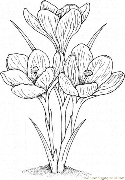 Crocus Flower Coloring Page | coloring pages crocus 2 natural world gt flowers free
