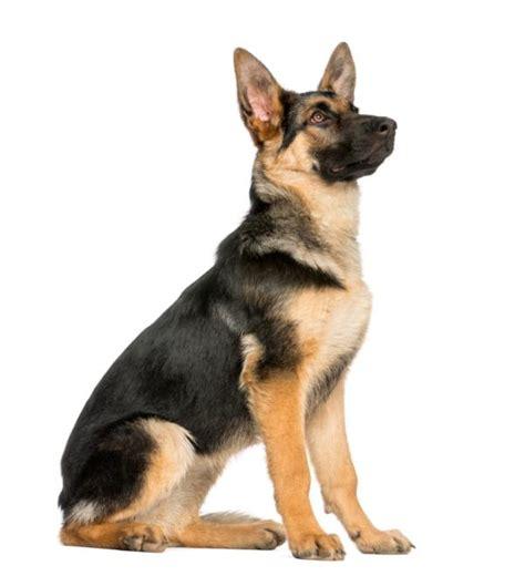 lade berger los mejores perros guardianes