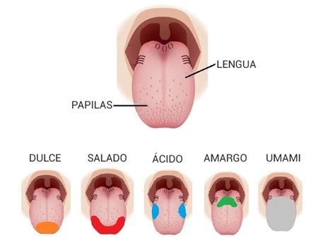 que son imagenes sensoriales gustativas 191 qu 233 es el sabor umami