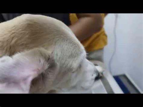 golden retriever swollen ear draining doberman hematoma doovi