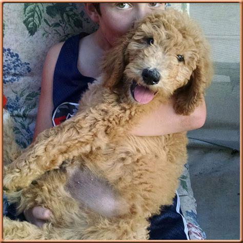 mini goldendoodles nc goldendoodles the best f1b goldendoodles in