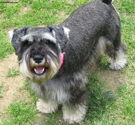 breeds and info miniature schnauzer breed profile facts and information miniature breeds picture