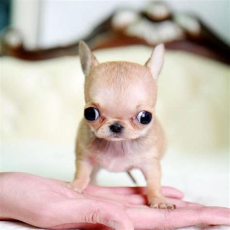 applehead pomeranian micro teacup chihuahua puppies images