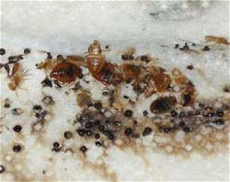 bed bug identification bed bug identification signs and picutres guide