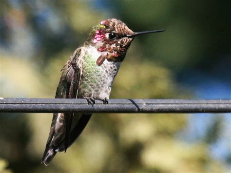 in the backyard anna s hummingbird pacific nw birder