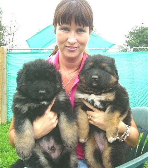 king german shepherd puppies for sale ayer splush coated german shepherds puppies