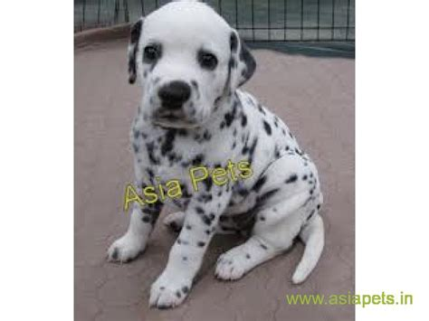 dalmatian puppies for sale indiana dalmatian puppies price in hyderabad dalmatian puppies for sale in hyderabad