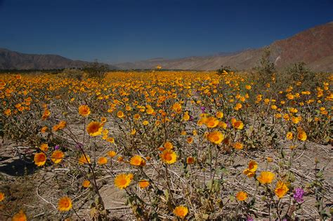 anza borrego spring flowers naturetime incredible natural spring time phenomenon in southern