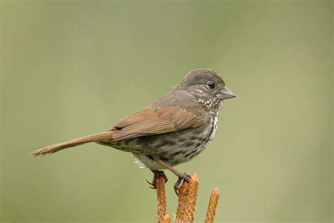 foxsparrowp