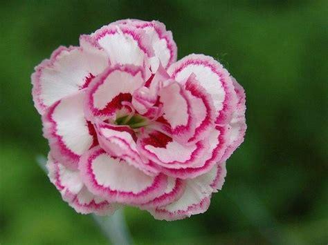 garofano fiore garofano significato fiori significato garofano