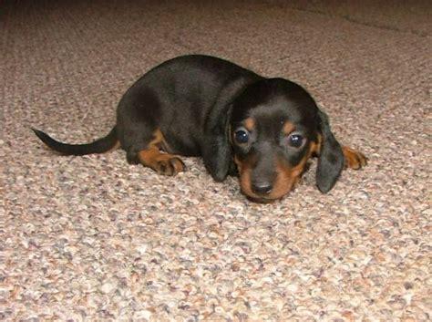 black dachshund puppies akc dapple dachshund puppies in california kyler s past puppies