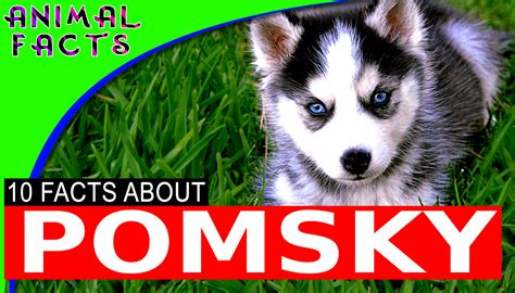 reddit puppy 101 pomsky dogs 101 the adorable pomeranian husky mix pomsky animal facts