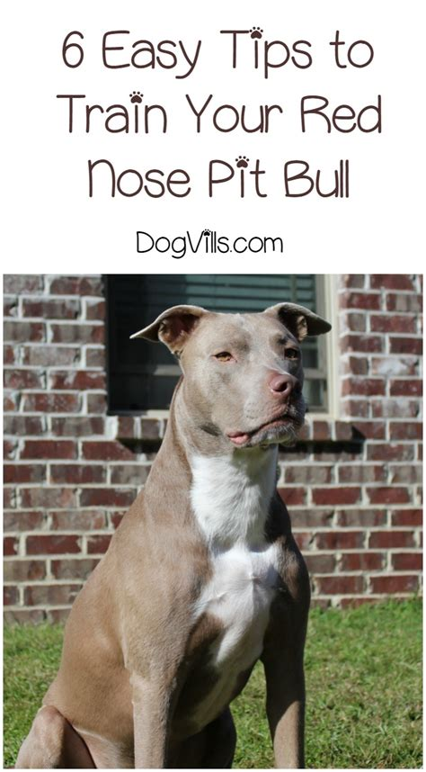 how to pitbull puppies 6 easy tips for how to your nose pit bull dogvills