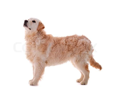 golden retriever white background golden retriever puppy isolated on white background stock photo colourbox
