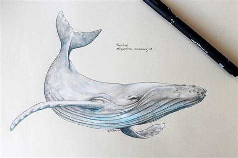 humpback whale tattoo humpback whale scientific drawing nautical