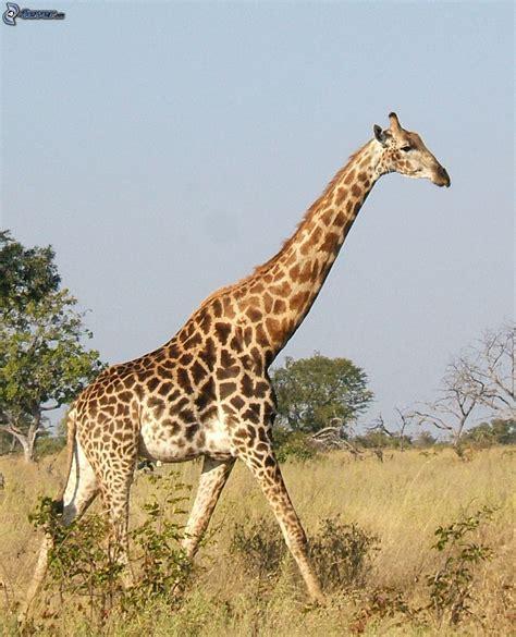 google imagenes de jirafas jirafa