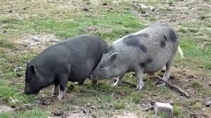 eber beim decken schweine bei der paarung parung bei tieren paarung der