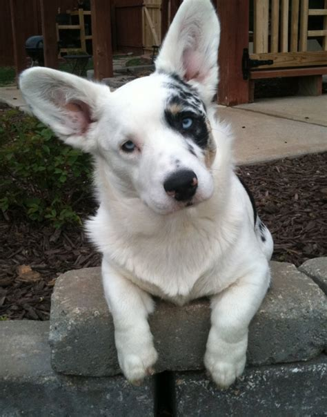 blue merle corgi puppies the blue merle cardigan corgi corgi dogs
