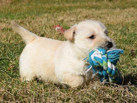 wheaten scottish terrier puppies for sale scottish terrier puppy liam sold to debbie southern scotties