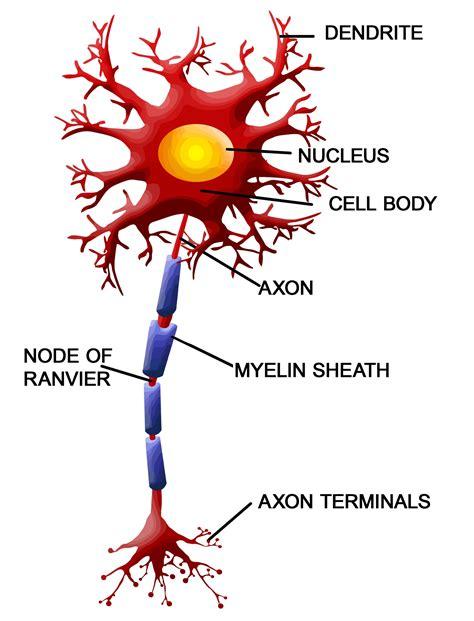 motor neurom pin motor neuron on