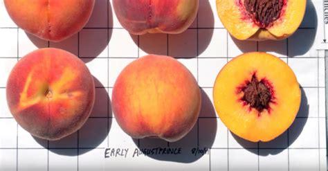 peach variety early augustprince home garden